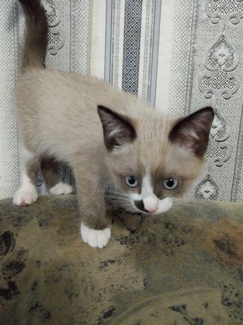 Котята от сиамской кошечки