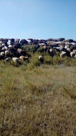 Продам овец живым весом