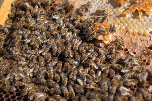 Пчелни майки от лицензиран производител.