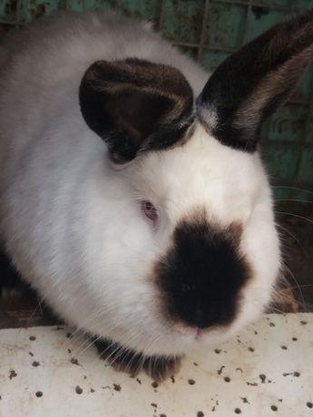 Зайци бял новозеландски и калифорнийски