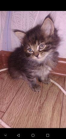 Отдам котят от вислоухой кошки