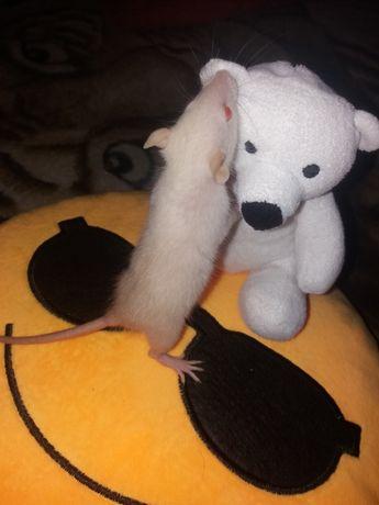 Продам крысят (1 месяц)