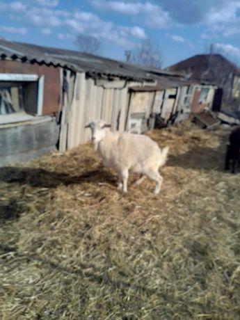 Продам доеную козу