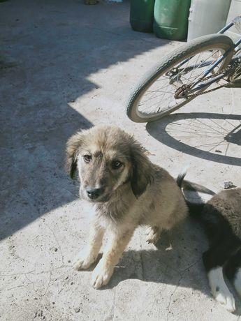 Дарю щенка от русского спаниэля и дворогового пса