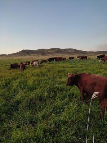 Бычок Бычки бык быки оптом крс откорм белоголовый, акбас.