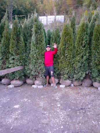 Vand plante ornamentale la prețuri acceptabile ofer și plantare la cer