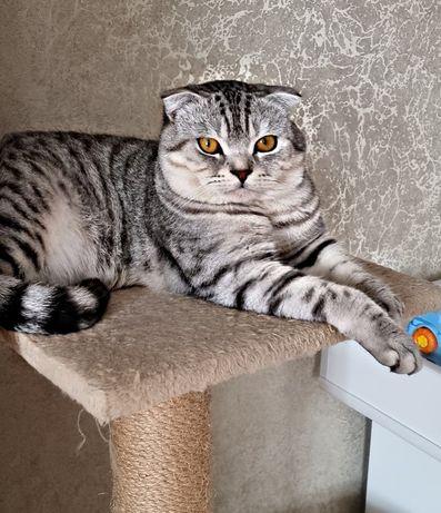 Сотиш фолд кот,для вязки