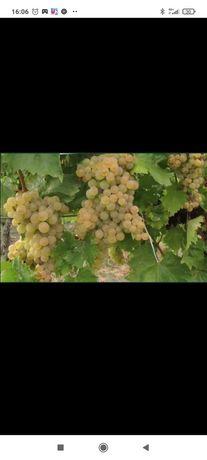 Vând struguri de vin și prune de tuica