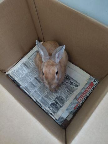 Продам домашнего кролика