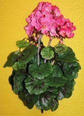 Цветы герань 4 цвета