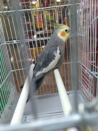 Корелла молодой попугаи
