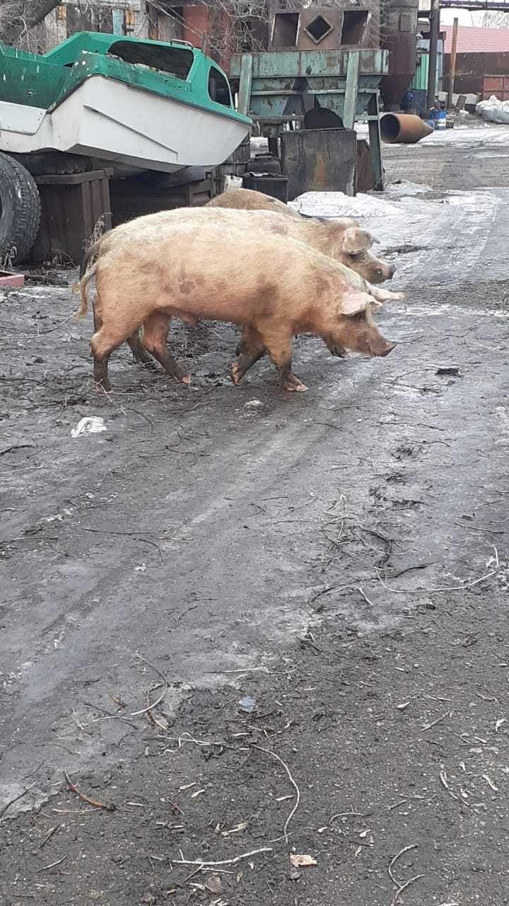 свиньи и кабаны на мясо
