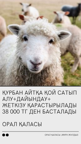 Бараны и овцы Бесплатная доставка