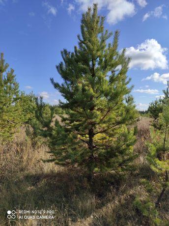 Посадка деревьев  и кустарников, в наличии имеются шикарные сосны от 1