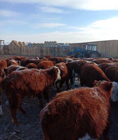 Продам коровы Бузау бычки телята Ангус сементал голштын акбас