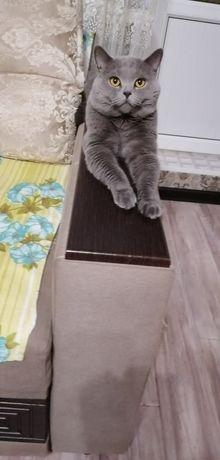 Кот для вязки, британской крупной породы