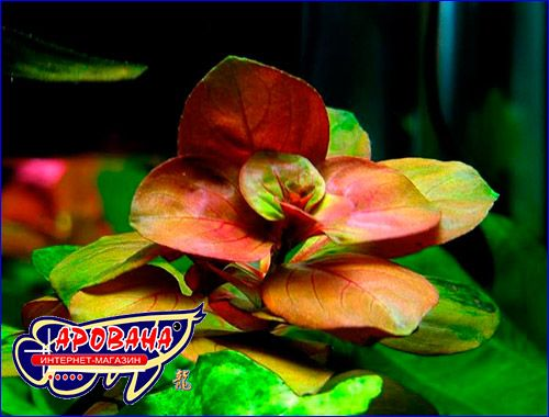 Аквариумные растения Людвигия овальная (Ludwigia ovalis) Алматы - сурет 1