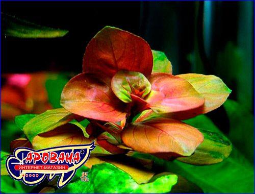 Аквариумные растения Людвигия овальная (Ludwigia ovalis)
