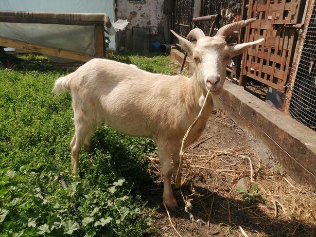 Продам козу,  породистая