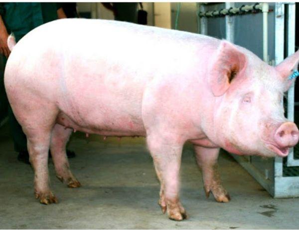 Продам свинину частями ,не жирная ,