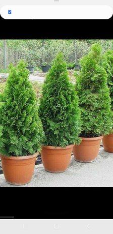 Plante ornamentale la ghiveci cu pământ climatizat pentru terase balco
