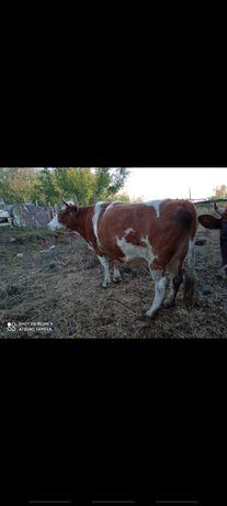 Продам корову и 5 быков