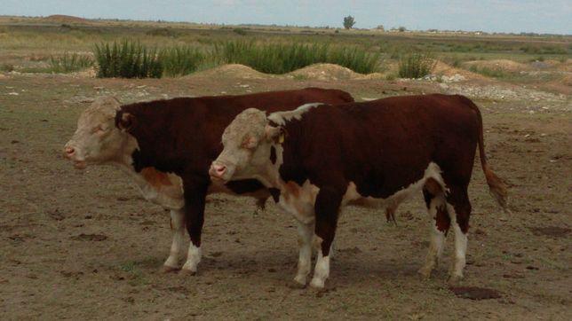 Продам подсосных бычков