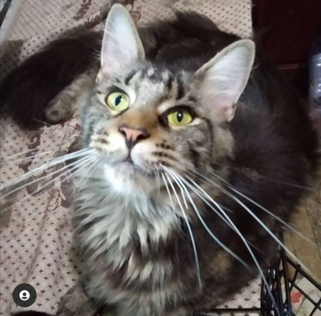 Кошка Мейн-кун с документами