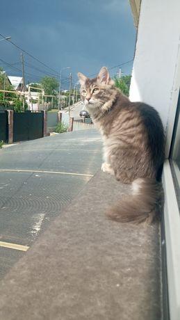 Чистокровная Сибирская кошка