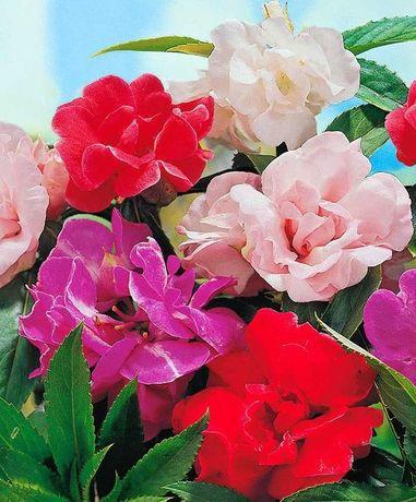 Impatiens balsamina 'Camellia Flowered' - 10seminte - Sporul casei