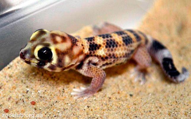Сцинковый геккон ящерица