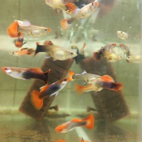 Pesti de acvariu-exotici- gupy, moly , platy, crap koi, carasib, neoni
