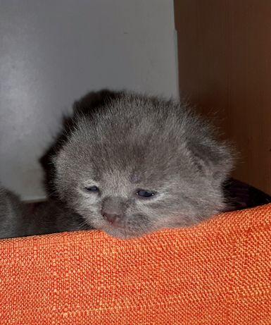 Продам британских котят чистокровки!