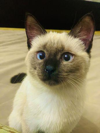 Отдам бесплатно котенка девочку сиамскую  , в хорошие руки