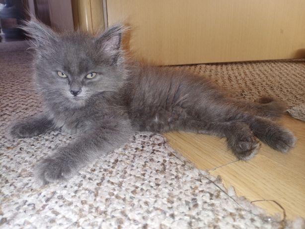 Котенок пушистый красивый
