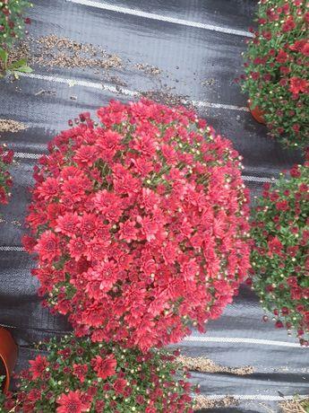 Flori crizanteme