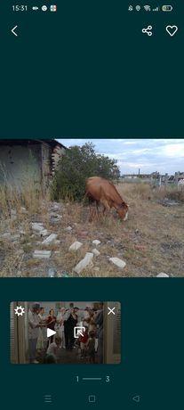 Продам корову 3 года