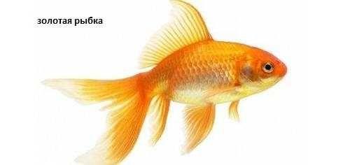 """Золотая рыбка в зоомагазине """"Живой мир"""""""