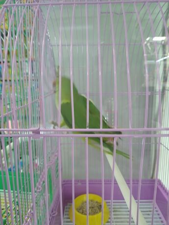 Ожереловый попугаи
