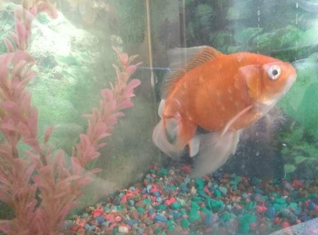 Золотая рыба с аквариумом