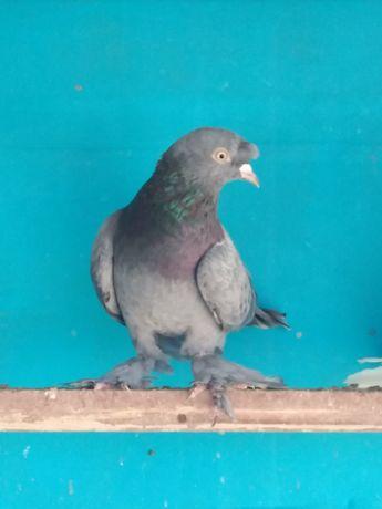 Продам таклу чубатую голубь продам за 2500 тенге