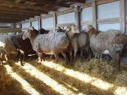 Продам овец Дорперы Гиссарская порода