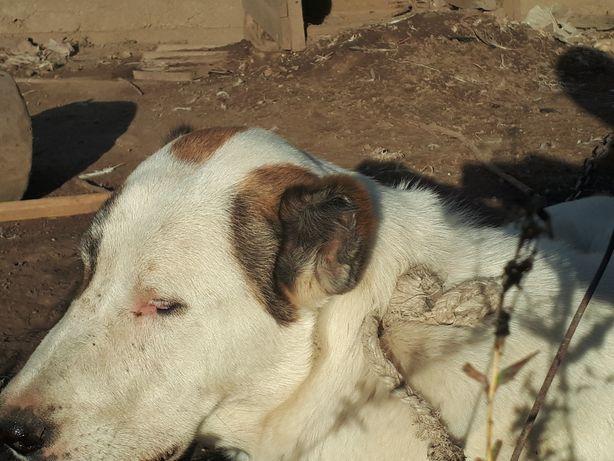 Продам щенка алабай привитая 7 месяцев