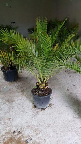 Vând palmier Phoenix
