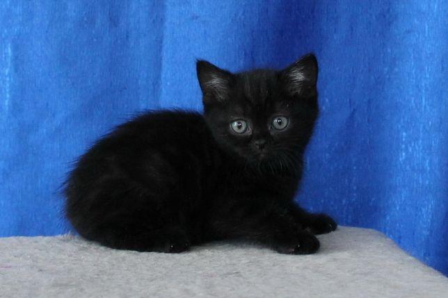 Котята от кошки британки