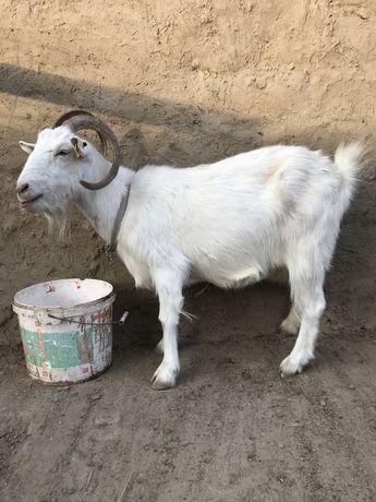 Продаеться русская коза