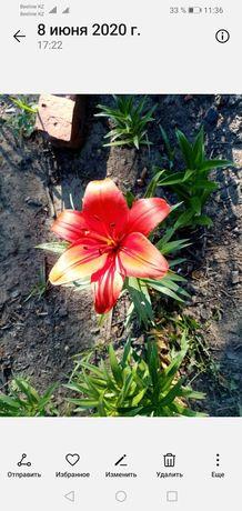 Цветы лилии, лилейники, ирисы (саженцы)