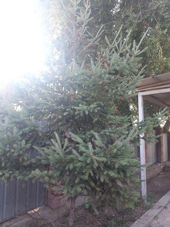 Сад и огород елка