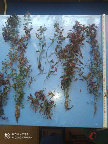 Людвигия ползучая (репенс) аквариумное растение