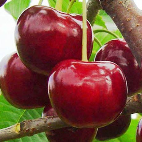Продам саженцы вишни